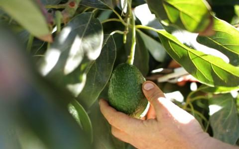 organic avocado harvest