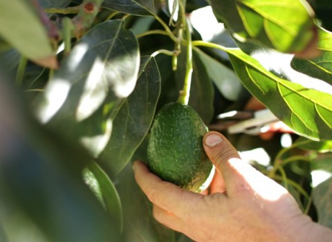 organic avocado harvest