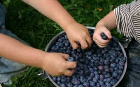 kids love blueberries