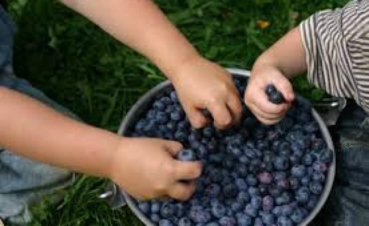 kids love blueberries