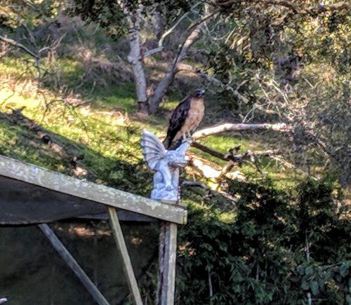 A hawk perches