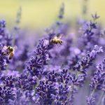 honeybees and lavender