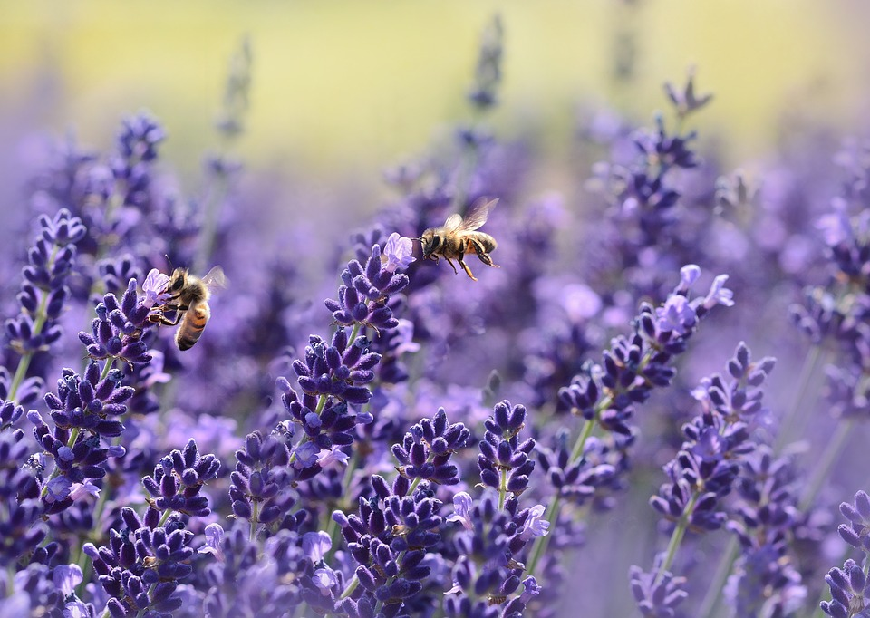 honeybees and lavender