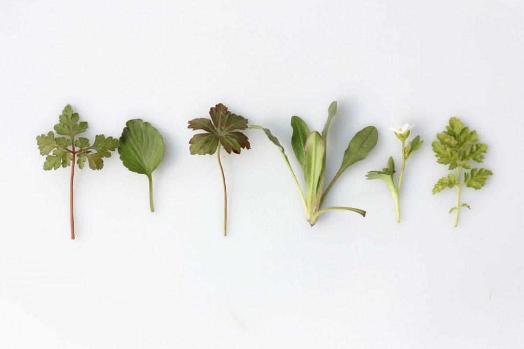 culinary medicinal herbs